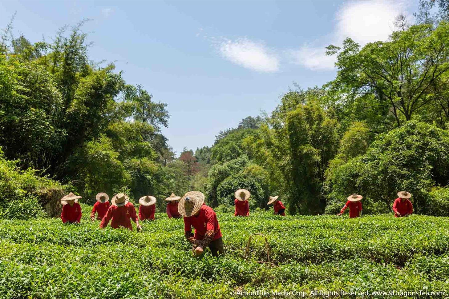 ActionFliks 9 Dragons Tea How Is Tea Made Tea Picking Tea Field Wuyi Tea Culture