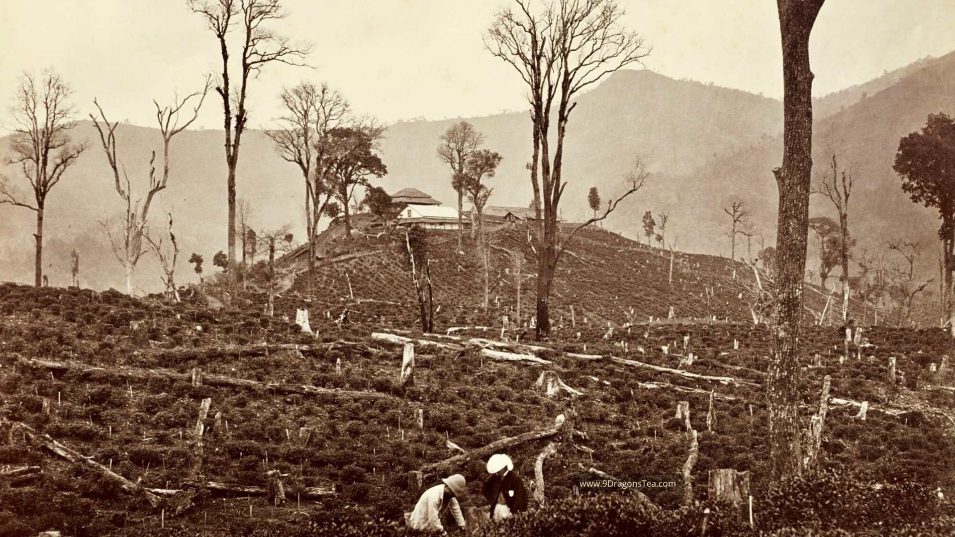 historical image How Tea Came To India Darjeeling View of the Selim Tea Estate by Samuel Bourne c1869