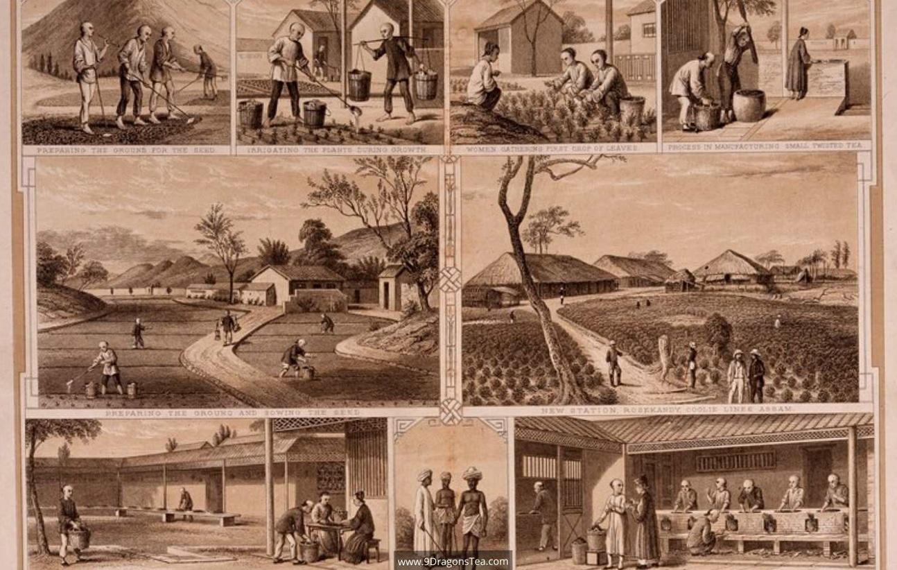 how tea came to india assam region c1855