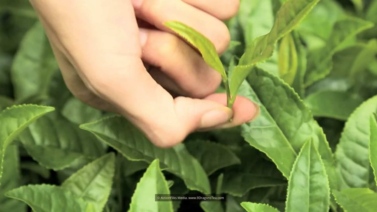 traditional chinese tea making picking with green tea leaves
