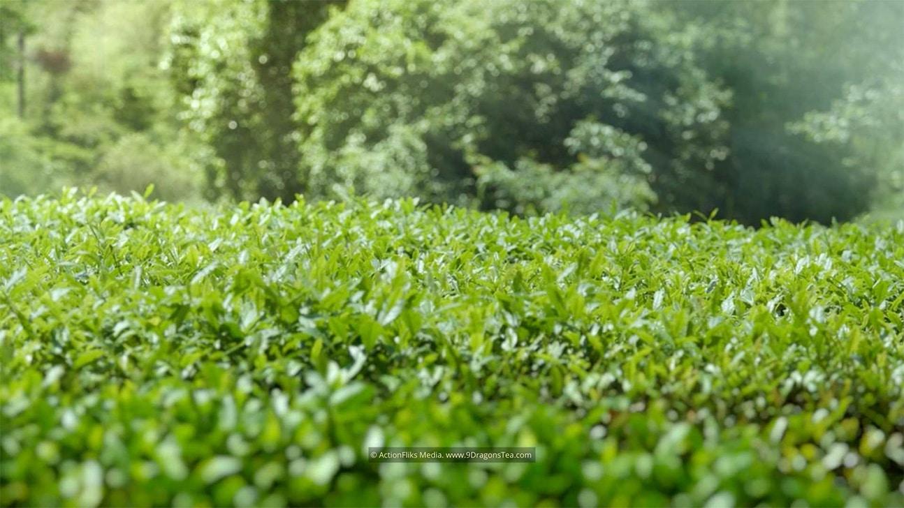 wuyishan landscape tea field tea plant medium shot