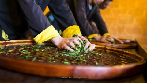 Chinese Tea culture traditional tea making tea workers hands kneading rolling green tea leaves on bamboo tray