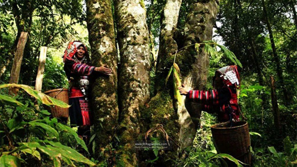 pu erh tea old tea trees wild tea trees with tea pickers