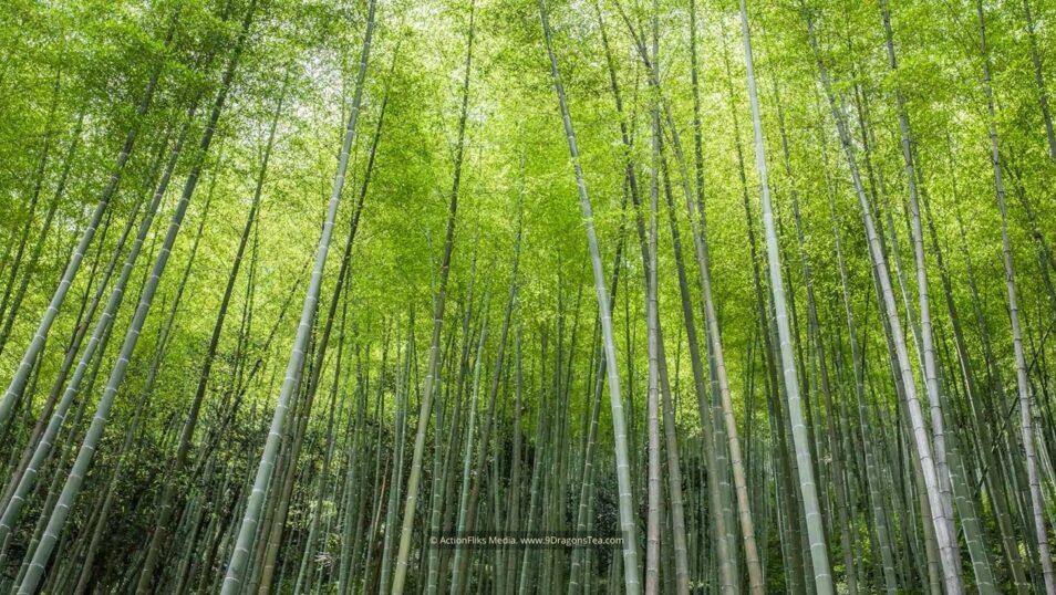 wuyishan landscape bamboo forest black tea region